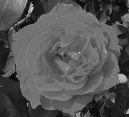 роза 1а
